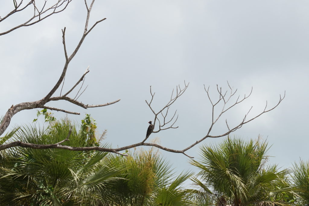 Bird Tours Hopkins & Placencia Belize