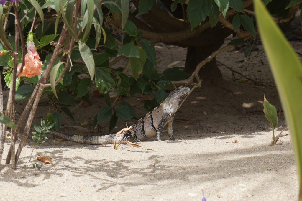 Iguana's around Southern Belize